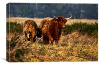 Highland cow and her calf, Canvas Print