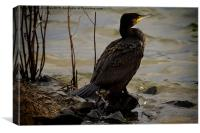 Cormorant resting in the winter sunshine, Canvas Print