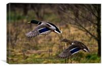 Mallard pair in flight, Canvas Print