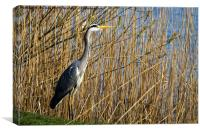 Grey Heron amongst the reeds, Canvas Print