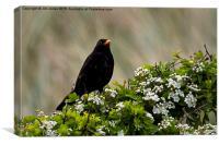 Blackbird on May Blossom, Canvas Print