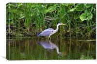 Grey Heron reflected, Canvas Print
