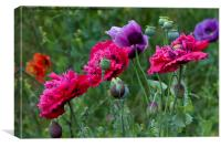 Colourful Poppies, Canvas Print