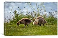 Gorgeous grazing goslings , Canvas Print