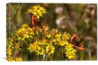 Tortoiseshell Butterflies in September sunshine, Canvas Print
