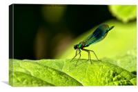 Damselfly on green leaf, Canvas Print