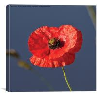 Blood Red Poppy, Canvas Print