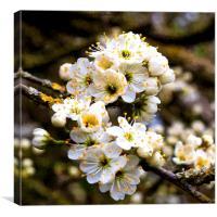 Artistic Hawthorne Blossom, Canvas Print