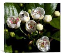Hawthorne Blossom, Canvas Print