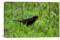 Blackbird in the morning dew, Canvas Print