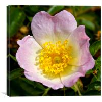 English Dog Rose, Canvas Print