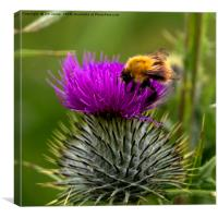 Thistle do!, Canvas Print