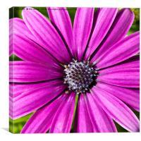 Purple Daisy, Canvas Print