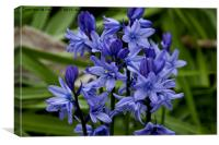 English Bluebells, Canvas Print