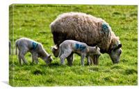Ewe and spring lambs, Canvas Print