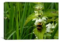 Bee on Nettle flowers; two stingers together, Canvas Print