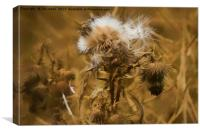 Dead Thistle with pastel filter, Canvas Print