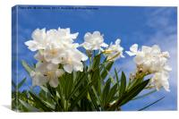 Blue sky and white Oleander, Canvas Print
