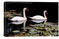 Two swans aswimming, Canvas Print