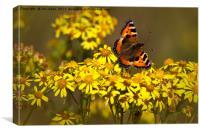 Tortoiseshell butterfly in September sunshine, Canvas Print