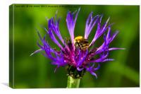 Bee on Mountain Bluet, Canvas Print