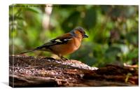 Chirpy Chaffinch, Canvas Print