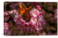 Cherry Blossom in sunshine, Canvas Print