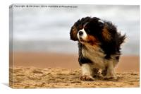 Little dog on a windy beach, Canvas Print