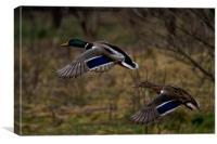 Mallard Ducks in flight, Canvas Print