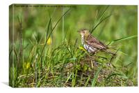 Meadow Pipit, Canvas Print