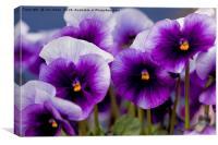 Pretty Purple Pansies, Canvas Print