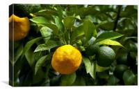 Yellow and green Italian lemons, Canvas Print