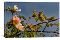 Meadow Pipit and roses, Canvas Print