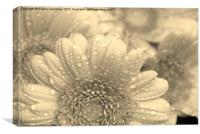 Like A Flower In The Rain (Sepia), Canvas Print