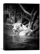 Water Tigers., Canvas Print