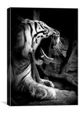 Sleepy Tiger, Canvas Print