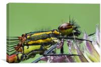 large red damselfly, Canvas Print