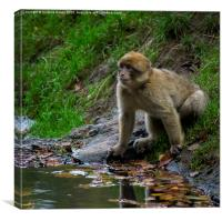 Trentham Monkeys, Canvas Print