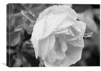 Rained rose, Canvas Print