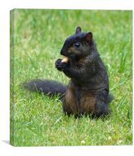 Rare Black Squirrel, Canvas Print