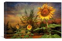 Three Sunflowers, Canvas Print