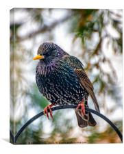 The Starling, Canvas Print