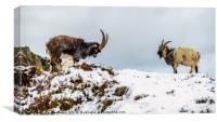 Welsh Mountain Goats, Canvas Print