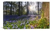 Dawn in the bluebell woods 2, Canvas Print