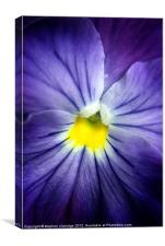 blue pansy close up, Canvas Print