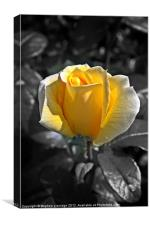Yellow rose on monochrome, Canvas Print