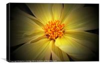 Yellow dahlia, Canvas Print