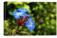 ceratostigma willmottianum forest blue lice, Canvas Print