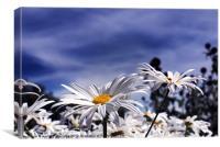 Oxeye daisy's deep blue sky, Canvas Print
