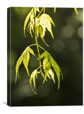 Acer, Canvas Print